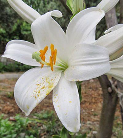 Lilium candidum çiçekleri endüstriyel amaçlı kullanılabilirliği
