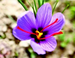 Safr'InsideTM: The Only Encapsulated Saffron Extract