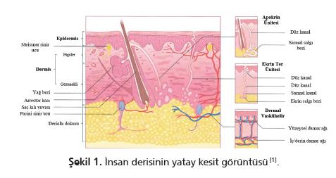 Bebek Cildi Anatomisi Bebek Bezi Geliştirilmesindeki Yeri