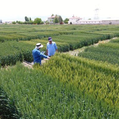 Tekfen Tarım'dan Yerli ve Milli 3 Yeni Buğday Çeşidi