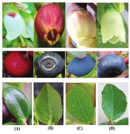 "Global Fruit of the Global World ""Blueberries"""